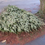A Christmas tree ready to be recycled.