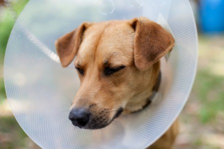 A dog wearing a cone on it's head to prevent it from itching.