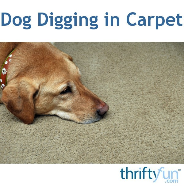 My Dog Peed On My New Rug: Dog Digging In Carpet