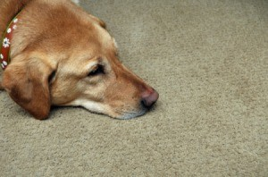 A dog laying on the carpet.