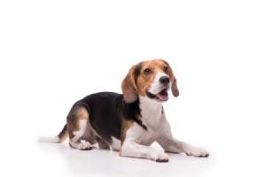 A cute beagle sitting on the floor.