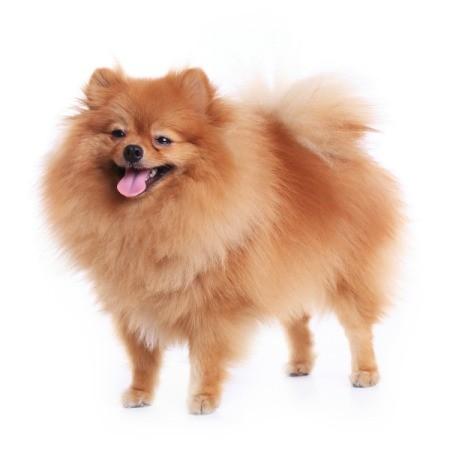 A cute pomeranian dog preparing to bark.
