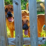 Two dogs looking between boards in a fence.