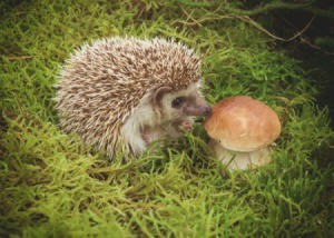 A hedgehog nibbling on a mushroom.