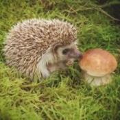 A hedgehog nibbling on a mushroom.