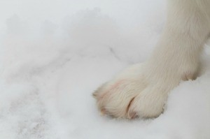 A dog's paw in the snow.