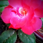 blurred red rose