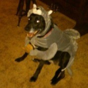 Dusty dressed as a wolf for Halloween