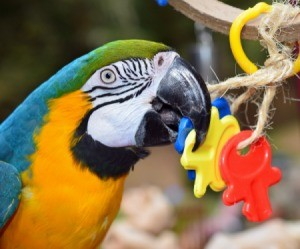 A parrot chewing on a chew toy.
