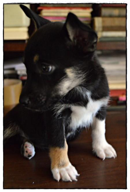 tricolor puppy