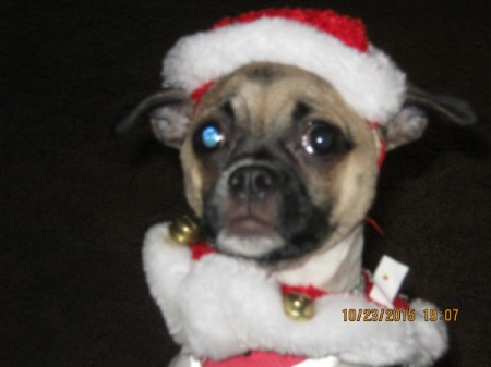 Pug in Santa suit