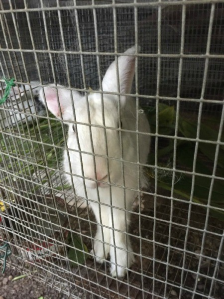 Treating Ear Mites in Rabbit Ears