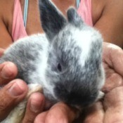 small gray and white bunny being held