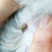 A tick being removed from a pet's skin.