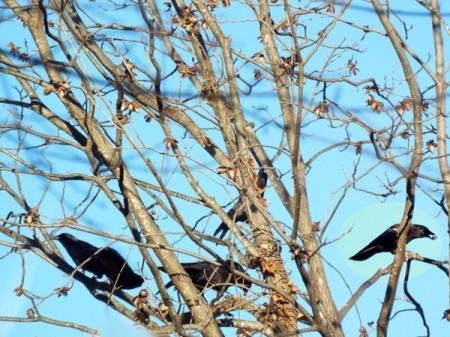 crows in pecan tree