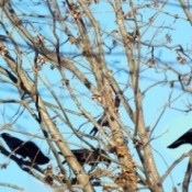 crows in pecan tree