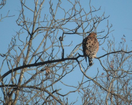 Red-shouldered hawk sitting in tree looking over its shoulder