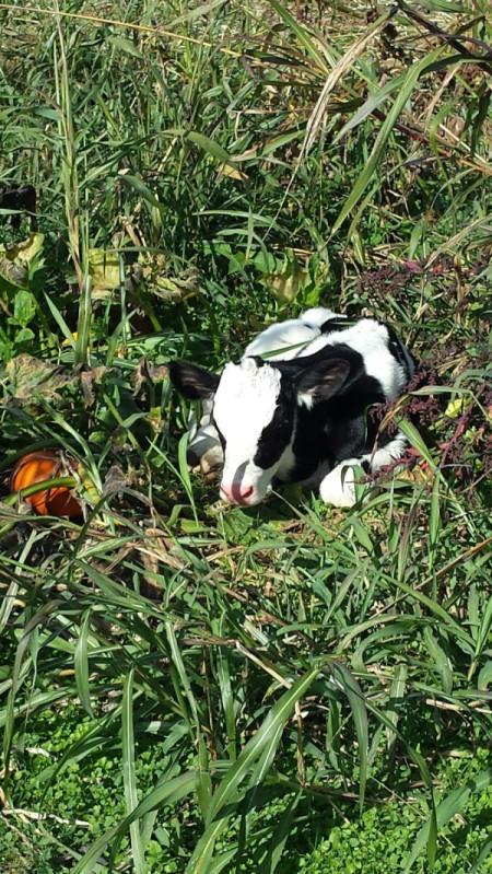 calf sleeping in a pumpkin patch