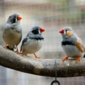 Three zebra finches sitting on a branch in a cage.