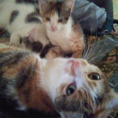 calico mama cat and kitten