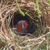 A zebra finch sitting in its nest.
