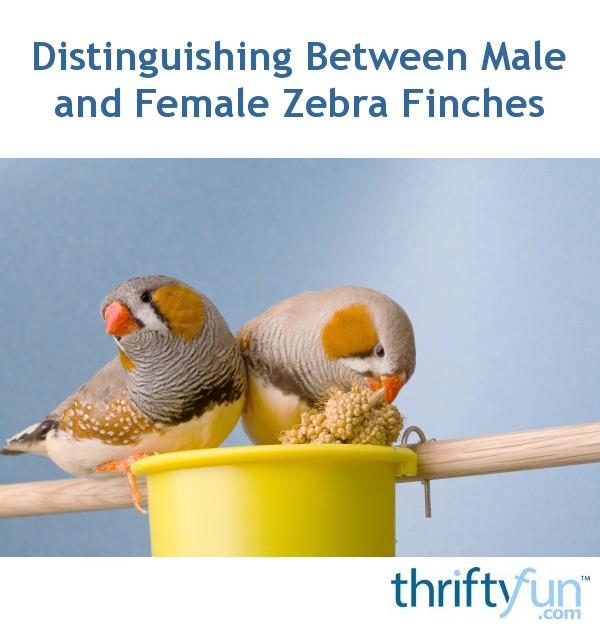 Distinguishing Between Male And Female Zebra Finches -8201