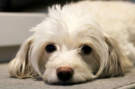 An unhappy dog laying on a carpet.