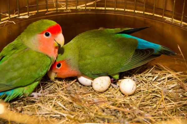 Understand lovebird behavior thriftyfun two lovebirds with eggs in their cage forumfinder Choice Image