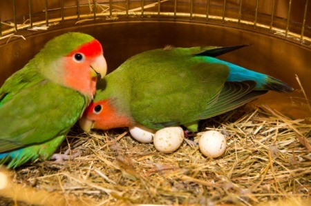 Two lovebirds with eggs in their cage.