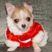 Doodlebug (Chihuahua)