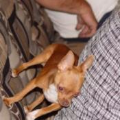 Millie (Chihuahua)