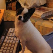 Mitzi (Chihuahua)
