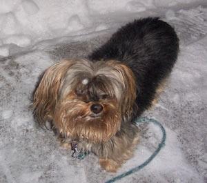 Tessa In The Snow (Yorkie)