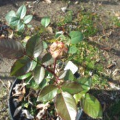 Extending The Bloom Season Of Roses - bud on young rose plant in pot