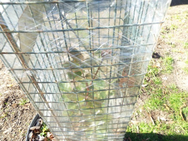 Extending The Bloom Season Of Roses = pot inside a cage covered with plastic wrap