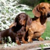 Two different breeds of dachshunds