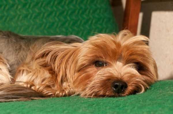 yorkshire terrier information yorkshire terrier breed information and photos thriftyfun 3738