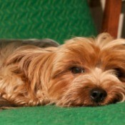A Yorkshire terrier laying on a green chair.