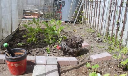 Gardening with the Chicken - black and white chicken in garden area