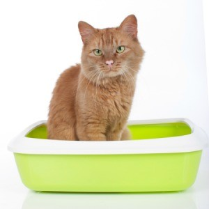 An orange male cat sitting in a litter box.