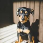 A Dachshund Chihuahua mix dog sitting on a deck.