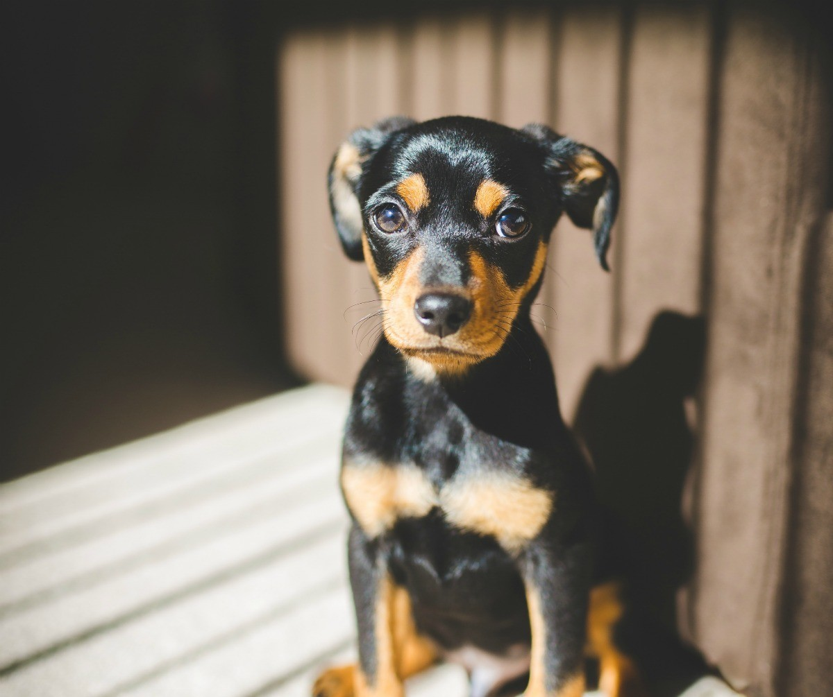 how big will a dachshund chihuahua mix get dachshund breed information and photos thriftyfun 8967