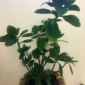 What Is This Houseplant? green leafed plant with scalloped edges on top leaves