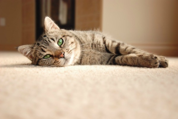 A Cat Laying On Carpet