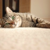 A cat laying on carpet.