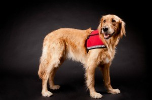 A golden retreiver service dog.