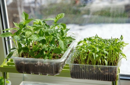 Seedlings on a window sill.