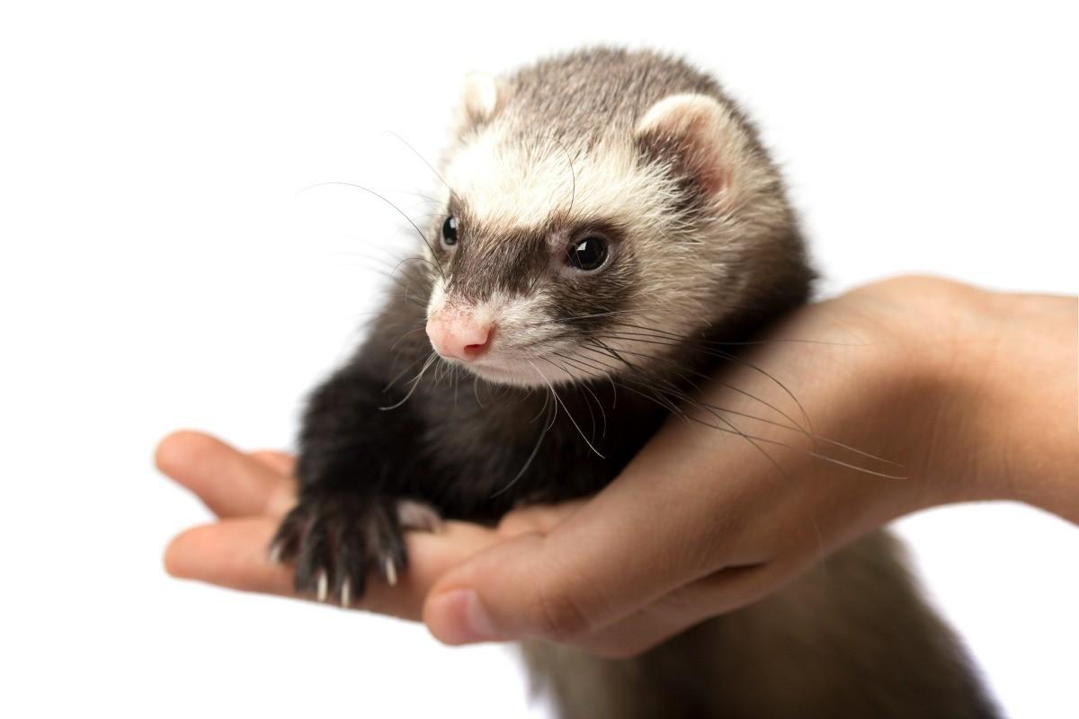 A hand holding a pet ferret.