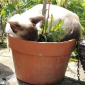 A siamese cat sleeping in a planter.