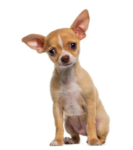 Chihuahua puppy.